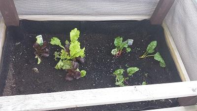 Salat-Mangold